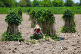 Farmer Preparing Young Cassava Plant — Stock Photo