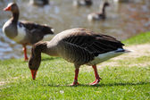 Greater white fronted goose on coast — Stock Photo
