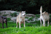 Pack of wolves in natural — Stockfoto