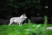 Grey wolf in natural — Stock Photo
