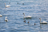 A group of swans feeding on the rive, Zurich, Switzerland — Stock Photo