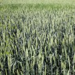 Green barley field in spring on a sunny day — Stock Photo #37883171