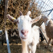 Goat on the farm — Stock Photo