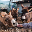 Stock Photo: Donkeys eating on farm