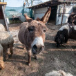 Stock Photo: Donkeys on farm