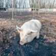 Pig on the farm — Stock Photo