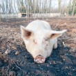Stock Photo: Pig on the farm
