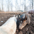 Pig on the farm — Foto de Stock