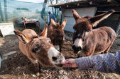 Donkeys eating on the farm — Stock Photo