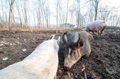 Pig on the farm — Stockfoto