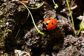 Coccinelle rouge — Photo