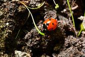 Rode lieveheersbeestje — Stockfoto