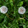 Dandelion couple from above — Stock Photo #13874055