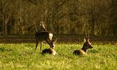 Deer flock — Stock Photo