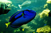 Pacific blue tang — Stock Photo