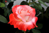 Beautiful Orange and Pink Rose — Stock Photo