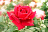 Perfectly Beautiful Red Rose — Stock Photo