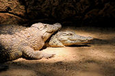 Two Nile Crocodiles Resting in Lair — Stock Photo