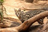 薮猫非洲野生猫的性质 — 图库照片