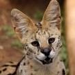 Close-Up of Serval African Wild Cat — Stock Photo