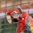 Stock Photo: Caged Scarlet Macaw