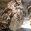 Sleepy Africa Spotted Eagle Owl  — Stock Photo