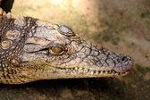 Primer plano de cocodrilo pequeño — Foto de Stock
