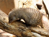 Banded Mongoose Looking for Food — Stock Photo