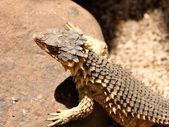 Sungazer Lizard Close-up — Stock Photo
