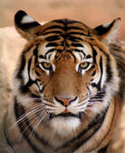 Tiger Face with Mouth Slightly Open — Stock Photo