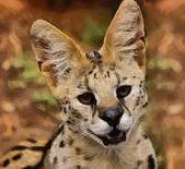 Serval African Wild Cat Portrait Painting — Stock Photo