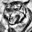Angry Face Tiger B&W Vector — Vector de stock