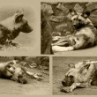 Stock Photo: African Wild Dog Collage