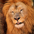 Stock Photo: Sleepy Lion Dozing Off