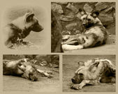 African Wild Dog Collage — Stock Photo