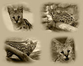 Serval African Wild Cat — Stock Photo