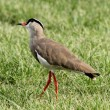 Crowned Plover Lapwing Bird Wary — Stock Photo