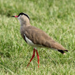 Foto de Stock  : Crowned Plover Lapwing Bird Wary