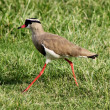 Crowned Plover Lapwing Bird Walking — Stock Photo