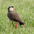 Crowned Plover Lapwing Bird Looking Back — Stock Photo