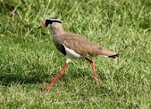 Crowned Plover Lapwing Bird Walking — Stock Photo