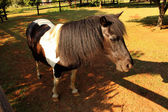 Black and White Pony in Camp — Stock Photo
