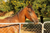 Large Brown Pony at Closed Gate — Stock Photo