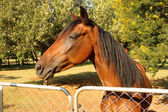 Large Brown Pony at Gate — Stock Photo