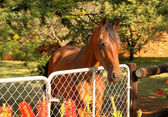Large Brown Pony with Head Over Gate — Stock Photo