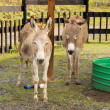Two Donkeys in Zoo — Stock Photo