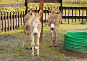 Two Donkeys in Zoo — Stok fotoğraf