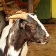Stock Photo: South AfricIndigenous Veld Goat Close-up Portrait