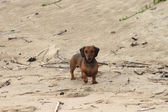 Miniature Dachshund Standing on Beach — Stock Photo