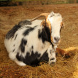 Stock Photo: Laying South AfricIndigenous Veld Goat Close-up